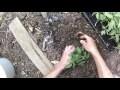 repiquage de tomates au potager