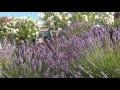 Ambiance sud provence papillon cigales abeille butiner lavandin lavande #Détente