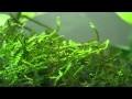 Mousse de java - plante d'aquarium