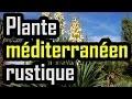 Plante méditerranéen rustique
