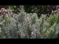 Lavande : plantation et entretien - Jardinerie Truffaut TV