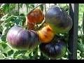 Culture de la tomate : semis, plantation ,repiquage, taille, entretien et récolte