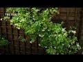Jasmin étoilé : plantation et entretien - Jardinerie Truffaut TV