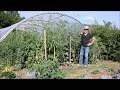 Le Potager du Paresseux : tomates - comment mieux maîtriser le mildiou sans traiter (24 août 2017)