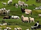 Fat Quarter-Motif animaux de la ferme :  le mouton) de tissu en coton - 50 x 55 cm