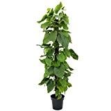 Arbuste artificiel, Pothos avec un tronc en fibre de palmier, en pot, 180 cm - pothos artificiel / plante verte ...