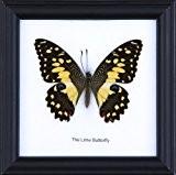 La chaux coton Papillon Papillon monté taxidermie Cadre 12 x 12 cm