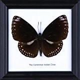 La commune de fixation indiens corbeau en coton Papillon de taxidermie Cadre 12 x 12 cm