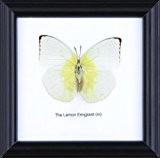 Le coton Citron émigrant Papillon monté taxidermie Cadre 12 x 12 cm
