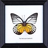 Red Spot mural Jezebel coton Papillon de taxidermie Cadre 12 x 12 cm