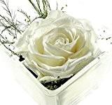 Rose de Fleurs de Fleurs d'éternel contient une véritable de konservierte Blanc Premium Rose–Notre Exclusif Arrangement de fleurs est fait ...