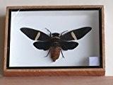 Taxidermie des insectes (cigale Tosena Fasciata) dans une boîte de présentation-UK