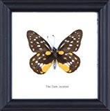 The Dark Montage Jezebel coton Papillon de taxidermie Cadre 12 x 12 cm