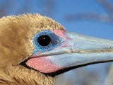 Red Footed Booby, Galapagos Islands, Ecuador - Jack Stein Grove