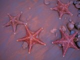 Sea Stars on Red Sandy Beach, Rabida Island, Galapagos Islands, Ecuador - Jack Stein Grove