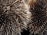 Sea Urchins, Galapagos Islands, Ecuador - Jack Stein Grove