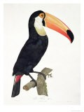 Toucan No.2, History of the Birds of Paradise by Francois Levaillant, Engraved by J.L. Peree - Jacques Barraband