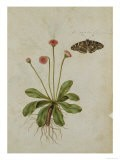 Botanical Study of a Daisy and Painted Lady Butterfly - Jacques Le Moyne De Morgues