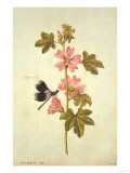 Botanical Study of Mallow and Flagfly - Jacques Le Moyne De Morgues