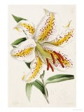 """Lily, from """"The Floral Magazine"""" - James Andrews"""