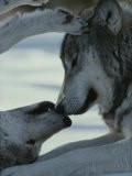 Two Gray Wolves Touch Noses during a Tender Moment - Jim And Jamie Dutcher