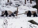 A Pair of Pandas(Ailuropoda Melanoleuca) in Snow, Wolong Ziran Baohuqu, Sichuan, China - Keren Su