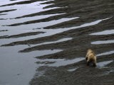 Land Mammals Also Run Afoul of the Spill, with Uncertain Consequences