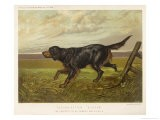 Gordon Setter in the Field with Its Classic Black and Tan Colouring - Langham David