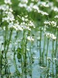 Water Violets, May, East Sussex - Larry Crowhurst