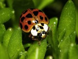 Lady Bug, Coccinella Spp - Larry F. Jernigan