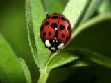 Nine Spotted Lady Bug Beetle - Larry F. Jernigan