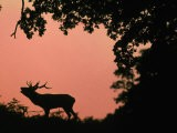 Red Deer Stag Calling at Sunset, New Forest, Hampshire, England - Laurent Geslin