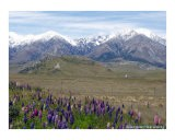 Lupins and Mountains - Maggi Carstairs