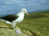 Black-Browed Albatross, Standing, Falklands - Manfred Pfefferle