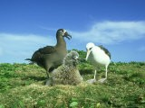 Black-Footed Albatross, and Laysan Albatross - Manfred Pfefferle
