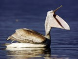 Dalmatian Pelican, Bill Open Yawning, Greece - Manfred Pfefferle
