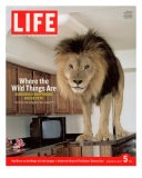 14-year-old Sinbad the Lion Standing on Counter in Owner's Las Vegas Kitchen, August 5, 2005 - Marc Joseph