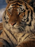 A Close View of a Proud Siberian Tiger - Marc Moritsch