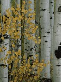 Autumn Foliage and Tree Trunks of Quaking Aspen Trees in the Crested Butte Area of Colorado - Marc Moritsch