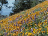 Poppies and Lupine Flowers Blanket a Coastal Field - Marc Moritsch