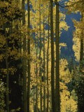 Quaking aspen trees display brilliant fall foliage  near Ouray - Marc Moritsch