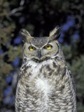 Great Horned Owl, Wildlife West Nature Park, New Mexico, USA - Maresa Pryor