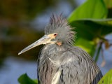 Tricolored Heron Sitting in Pickerell Weed, Wakodahatchee Wetlands, Boca Raton, Florida - Maresa Pryor