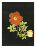 Cut Out Watercolour of a Flower, circa 1783 - Margaret Nash