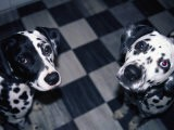 Two Dalmatians Look up from a Black and White Checkered Kitchen Floor - Nadia M. B. Hughes