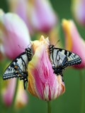 Two Swallowtail Butterflies on Tulip in Early Morning - Nancy Rotenberg