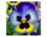 Blue And Yellow Pansy - Nancy Suzanne Mueller