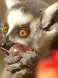 A Lemur Eats a Grape from a Fruit and Vegetable Cake - Natacha Pisarenko