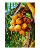 Coconuts on Tree - Palm Images