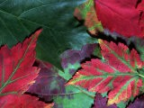 Close-up of Fall Leaves - Pam Ostrow